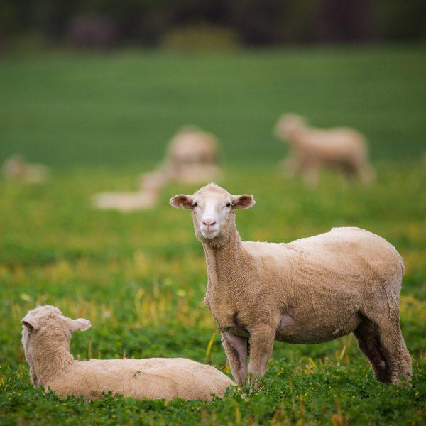 Deli-Co livestock